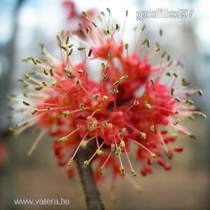 Vörös juhar.....Acer rubrum............../5mag/.............      NÖV.-221