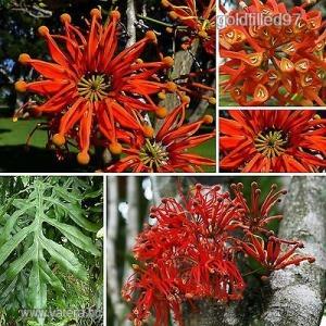 Tűzkerékfa......Stenocarpus sinuatis.............../5mag /          NÖV.-058